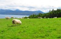 Škotijos avys