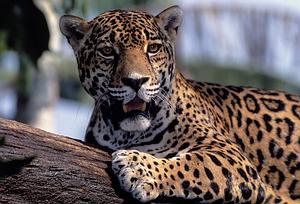 Jaguaras. Belizas