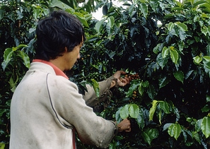 Kolumbijos kava