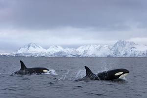 Plaukiojimas su banginiais - žudikais, Norvegija