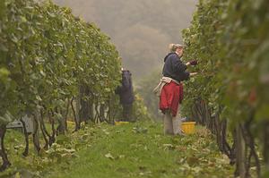 Sezoninis darbas vynuogyne